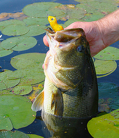 This nice bass crushed a Scum Frog worked slowly on top of the lily pads. In the middle of the day, bass will seek out the shade created by dense vegetation.