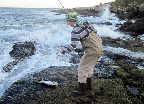 Ben Pickering reaches for a bluefish that was landed along the rocky drop-offs of Narragansett. This fish was taken on a needlefish plug, but blues will also hit jigs, plastics, and poppers when feeding on bay anchovies.