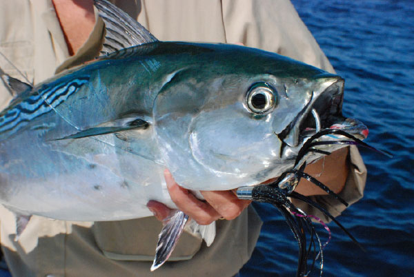 Albies can be caught casting, trolling and fly-fishing