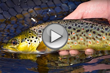 Deerfield River Trout
