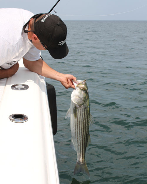 This Boston Harbor bass was fooled with a Sebile Soft Magic Swimmer.