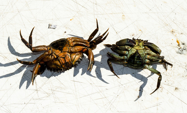 Green crabs are readily available at bait and tackle shops during tog season