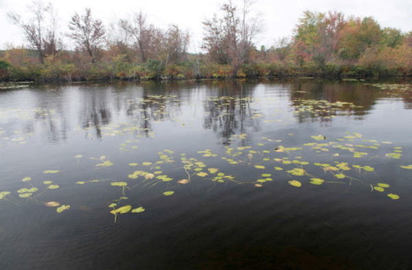 This lake tributary held several largemouth on the outside edges of these lily pads.