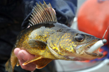 When the light is low, walleyes will, on occasion, hang on the shallower end of drop-offs and fall prey to lighter jigs.