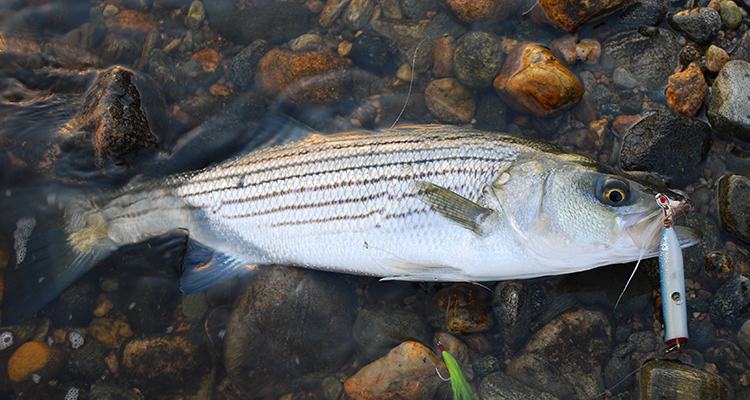 This striper swiped the trailing topwater plug of a popper/teaser combination.