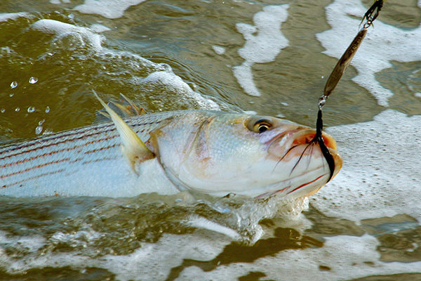 Dressing the hook of a metal lure with black saddle hackles can draw more strikes from sand-eel-crazed stripers.