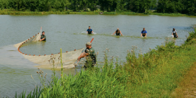 Hatchery workers netting fatheads to be fed to fingerling walleye.