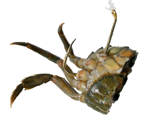 Hook crabs through the leg sockets to keep them on the hook long enough to withstand the attacks of  smaller bait-stealers.