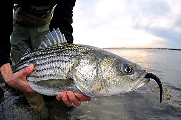 NY striped bass