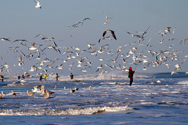 A flock of sea gulls feeds on sand eels in the wash.