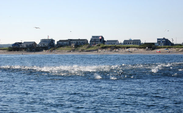 In the fall, herring move south, occasionally coming into the surf, often aided by storms or onshore winds.