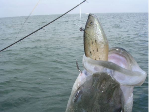 Live eels, live spot and jigs are the most effective baits for fall stripers off Cape May Point.
