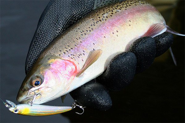 Raibow trout on Yo-Zuri Pins Minnow