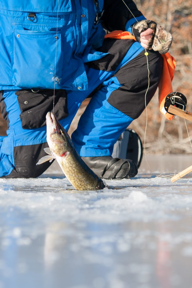 Pickerel are typically the most aggressive fish after the first freeze.