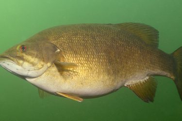 Deep Water Smallmouth Bass