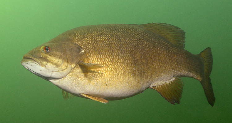Deep Water Smallmouth Bass On The Water