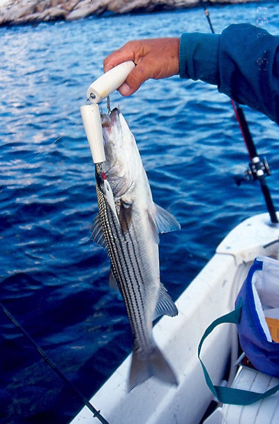 small striped bass on danny plug