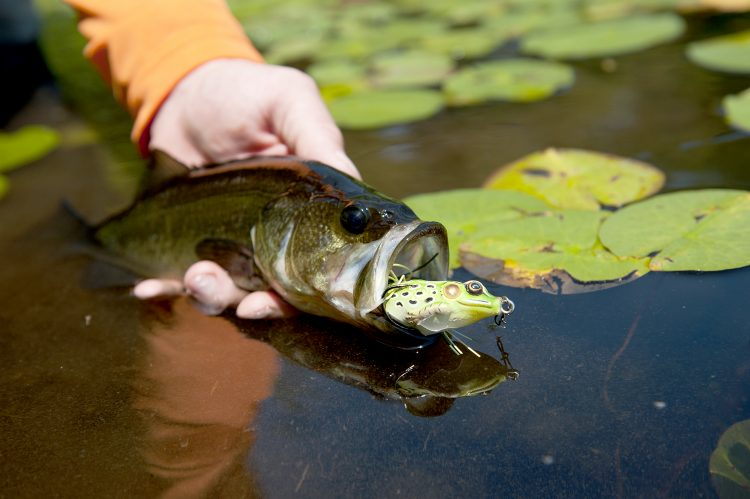 A lily pad largemouth that fell to an artificial frog.
