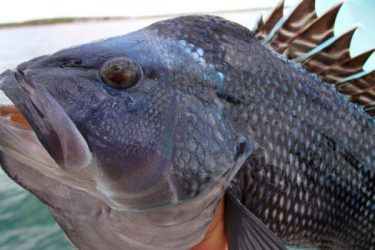 Black sea bass stocks are on the rebound and anglers are finding solid numbers of big fish around Montauk Point.
