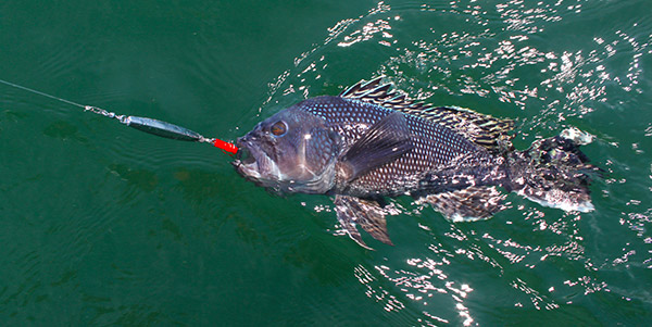 Diamond jigs can be very effective for targeting large sea bass.