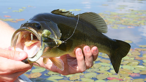 In the heat of summer, many bass will seek out the shade created by dense vegetation.