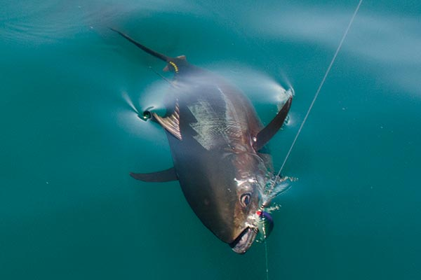 A bluefin tuna glides in for a landing