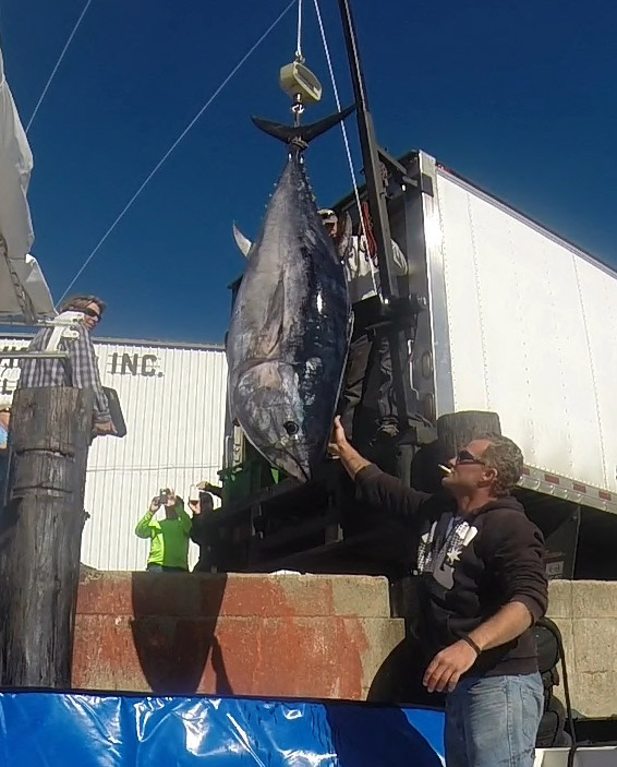 The giant tuna is hoisted on the docks in Portland.