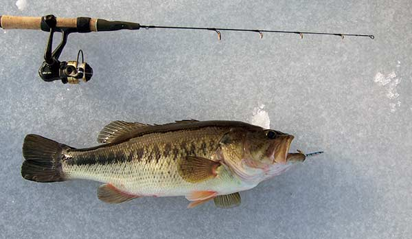 Even bass will break out of their winter stupor to attack a spoon.