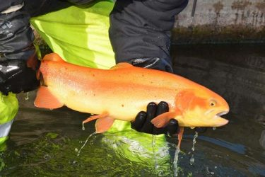 Keystone Select Stocked Golden Rainbow Trout