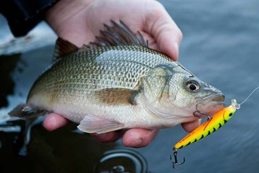 White Perch: Keeping it in the Family
