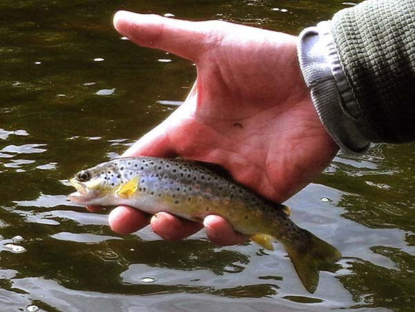 This pint-sized brown is proof that these fish are reproducing in the river.