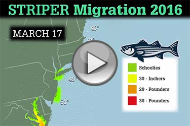 Striped Bass Migration