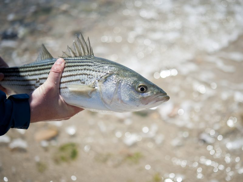 Image result for striped bass bonus program NJ permit