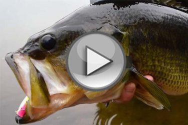 Cape Cod Bass