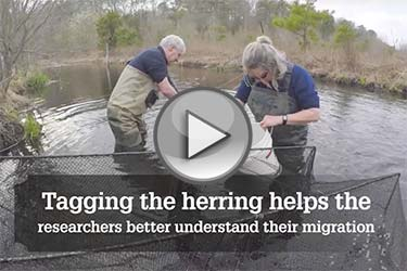 Tagging river herring