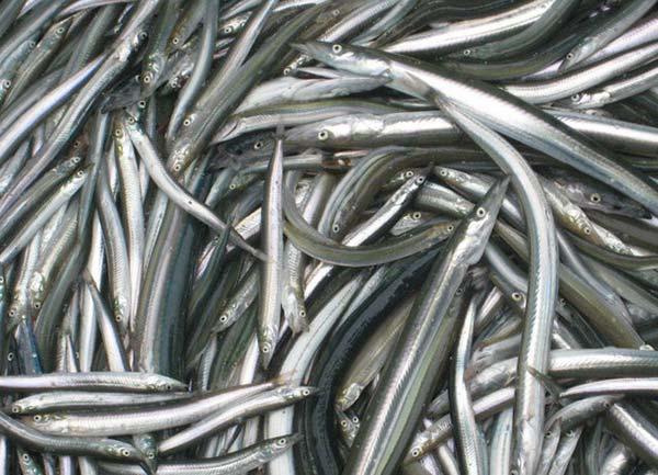 Sand eels