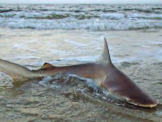 Shark fishing from shore is back in the limelight.