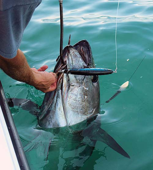 Keep bluefin in the water during the unhooking and release process