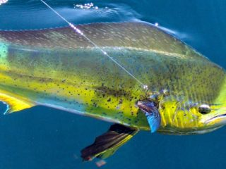 Southern Tactics For Northern Mahi