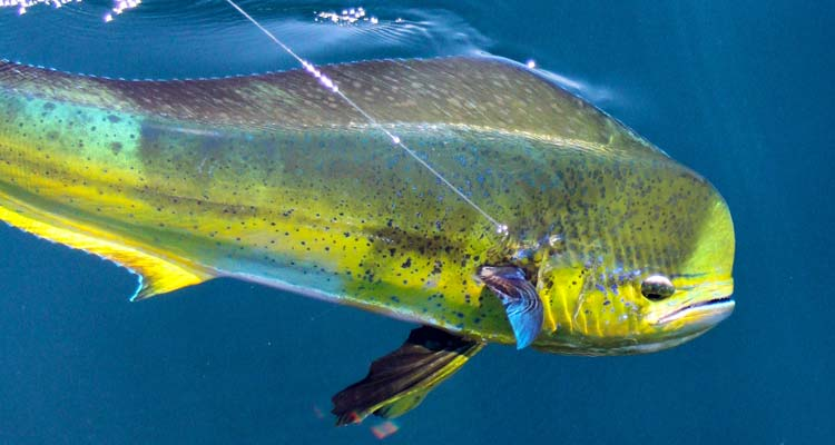 Southern tactics for northern mahi on the water for Pa fish for free days 2017