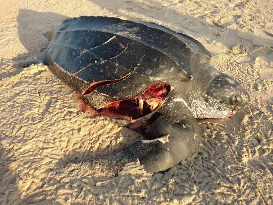 This leatherback was struck off of East Beach In Charlestown RI