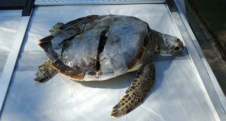 Green turtle found in Waquoit Bay
