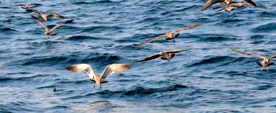 false albacore slashing under birds