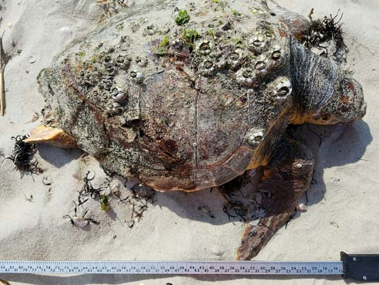 Loggerheads often bask at the surface