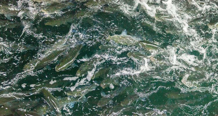 A school of stripers feeding on bay anchovies.