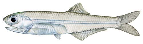 The Bay Anchovy