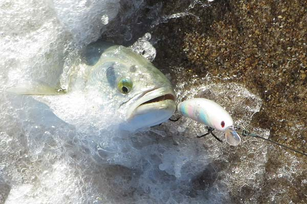 bluefish landed on a light-colored Daiwa Salt Pro Minnow