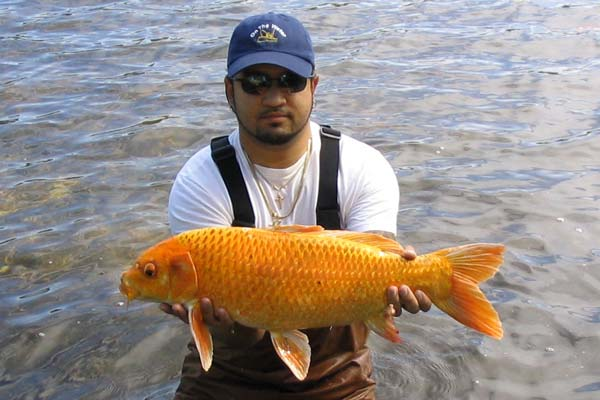 20.5-pound koi caught by Roy Leyva in Jamaica Pond in Boston