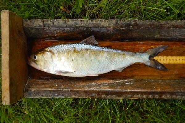 Adult shad in measuring box