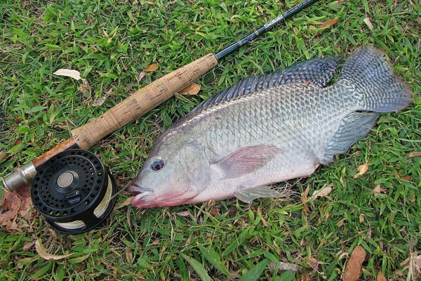 tilapia caught on a fly rod by Roy Leyva in the Charles River
